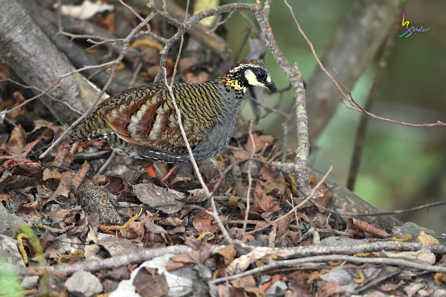 Taiwan_Hill_Partridge_3159