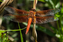 flame skimmer dragonfly 2845