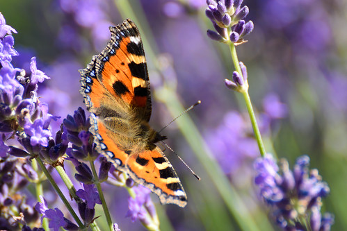 Butterfly & Lavender II