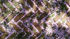 Cherry Blossom Petals And Brick
