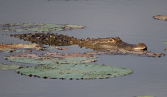 alligator foraging
