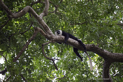 Adult male white-thighed colobus, Esaka, reclining