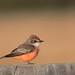 Vermilion Flycatcher---Pyrocephalus rubinus