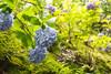 Photo:紫陽花 / Hydrangea By kimtetsu