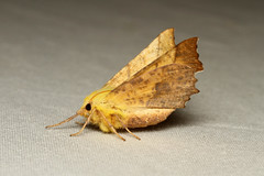 Ennomos alniaria (Canary-shouldered Thorn Moth) - Hodges # 6797.1