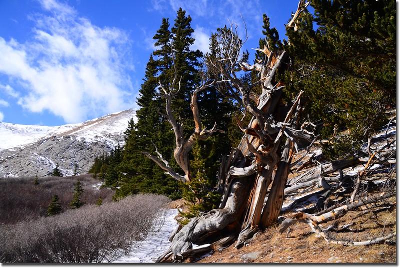 Bristlecone pine (14)