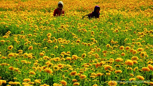Women working in fields of marigold flowers