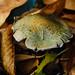 Verdigris mushroom, cap dappled