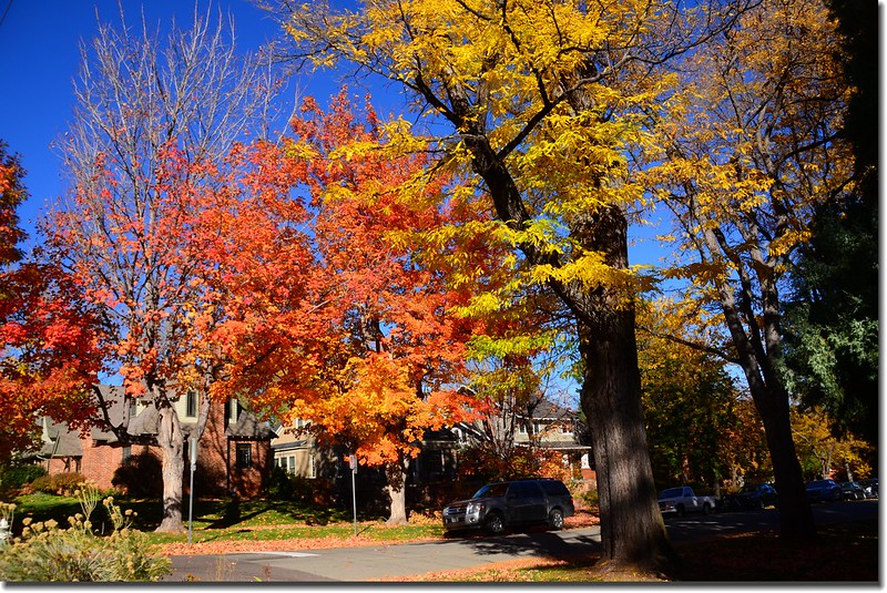 2017 Maple in Fall, Boulder, Colorado  (42)