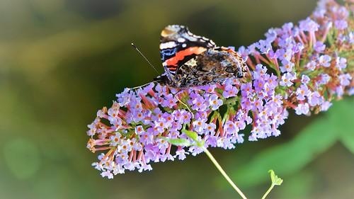 Butterfly on a butterfly-bush