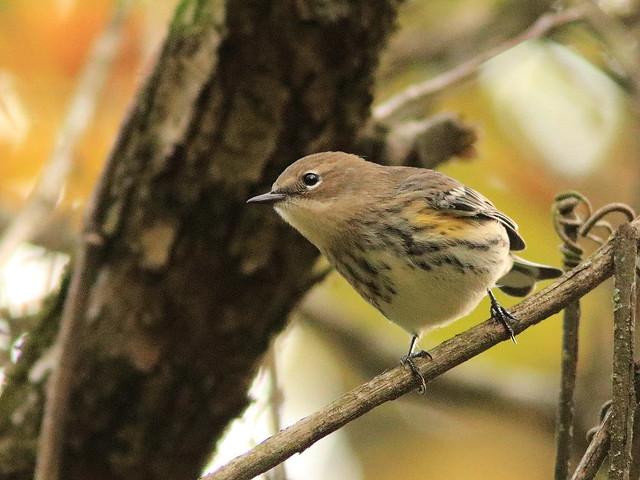 Yellow-rumped Warbler 01-20171010