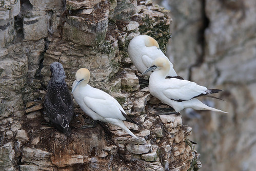 The Gannets of Bempton Cliffs