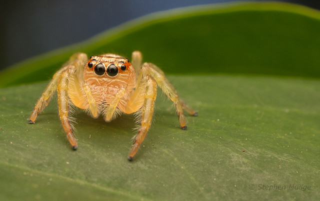 Jumping spider (Opisthoncus sp?)