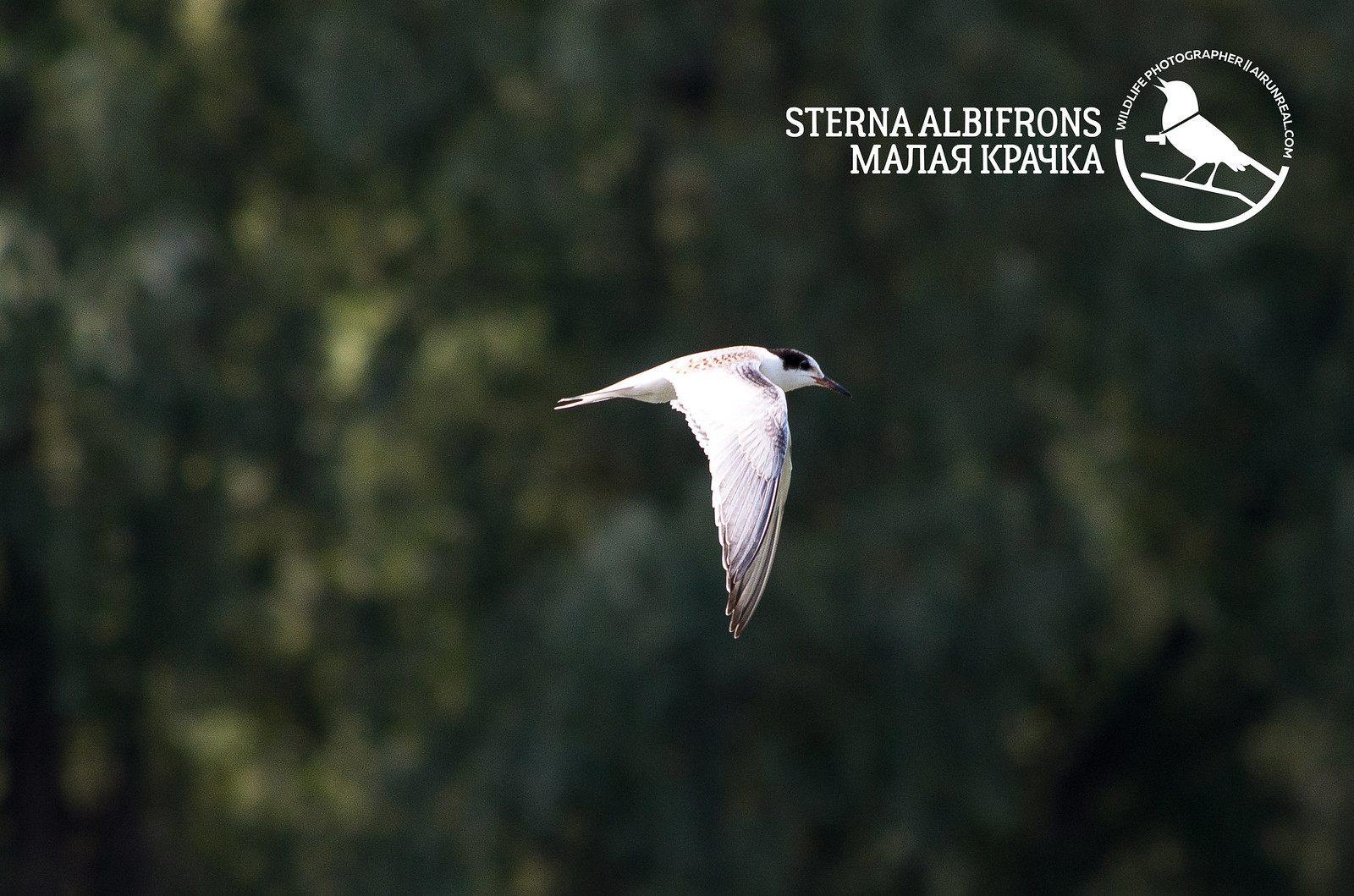 Sterna albifrons // 20170929