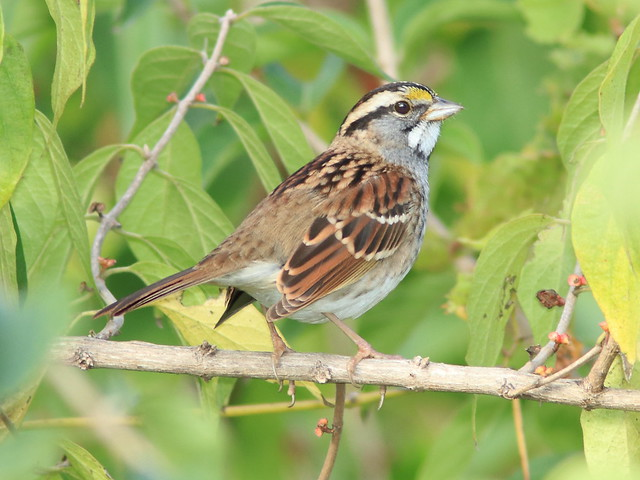 White-throated Sparrow 04-20171005