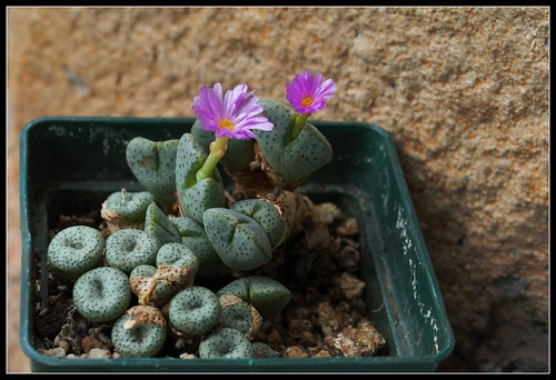 Conophytum taylorianum subsp ernianum 37145618984_f6cc75571b