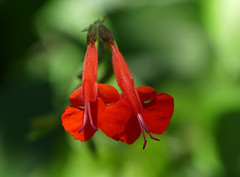 red Salvia (unsure which cultivar)