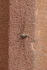 HolderDicranopalpus ramosus, St Bees, Cumbria, England