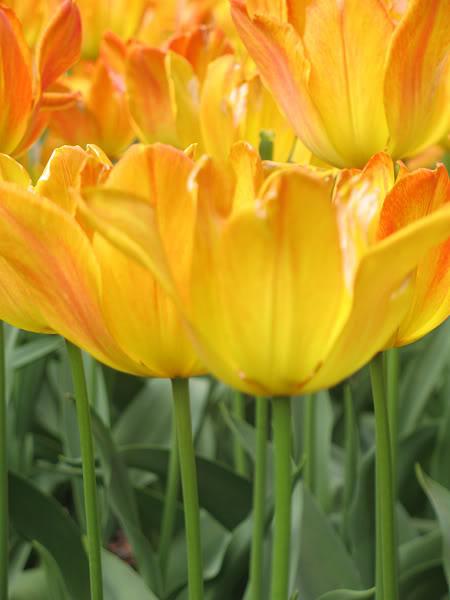 Tulips5.jpg-original