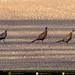 Pheasants Crossing