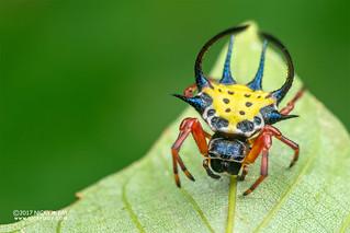 Spiny orb weaver (Gasteracantha sp.) - ESC_0481
