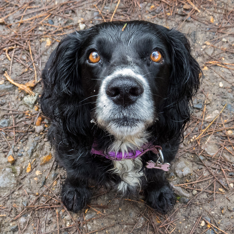 Pretty little Cocker Spaniel