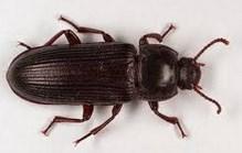 Manfaat Semut Jepang Untuk Penyakit Saraf