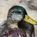 Mallard Duck (male half-in its eclipse plumage)