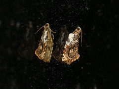 Acroceuthes metaxanthana