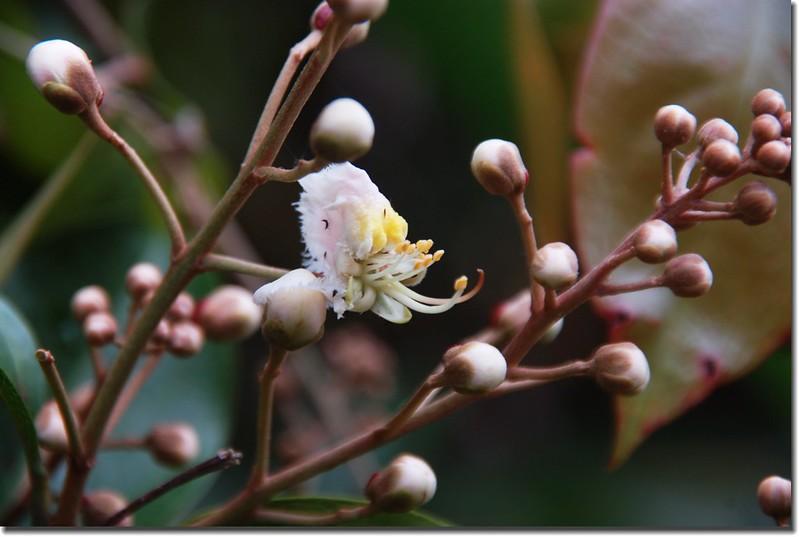 猿尾藤(花) 1