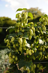 Hops, in the garden at Walmer castle