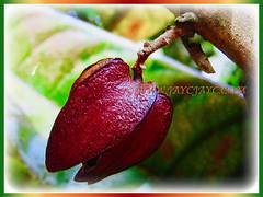 Reddish-brown fruit of Vatica yeechongii (Resak Daun Panjang in Malay), 21 Oct 2017