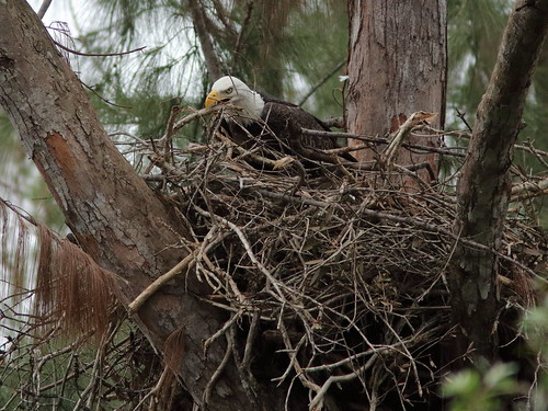 Bald Eagle female Jewel on nest 01-20171025