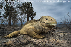 Barrington Land iguana Conolophus pallidus
