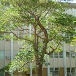 Elaeocarpus angustifolius tree