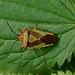 Hawthorn Shieldbug ---- Acanthosoma haemorrhoidale