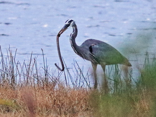 Great Blue Heron with Amphiuma 01-20171105