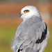 White-tailed Kite, Portrait