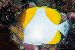 Pyramid Butterflyfish - Hemitaurichthys polylepis
