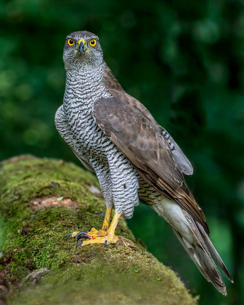 Northern Goshawk. Credit Andy Morfew