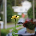 Yellow Zinnia With A Guest