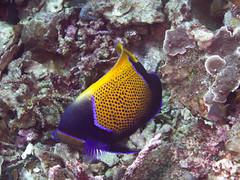 Bluegirdled angelfish (Pomacanthus navarchus)