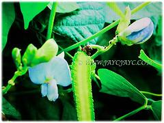 Captivating elongated pod, flower and leaves of Psophocarpus tetragonolobus (Four-angled Bean, Winged Bean/Pea, Princess/Asparagus Pea, Manila/Goa Bean, Kacang Botol in Malay), 28 Sept 2017