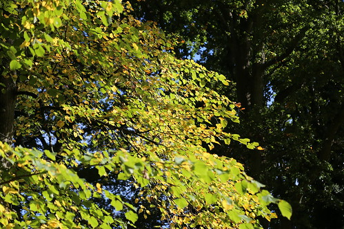 Lime leaves turning in Haywards Heath