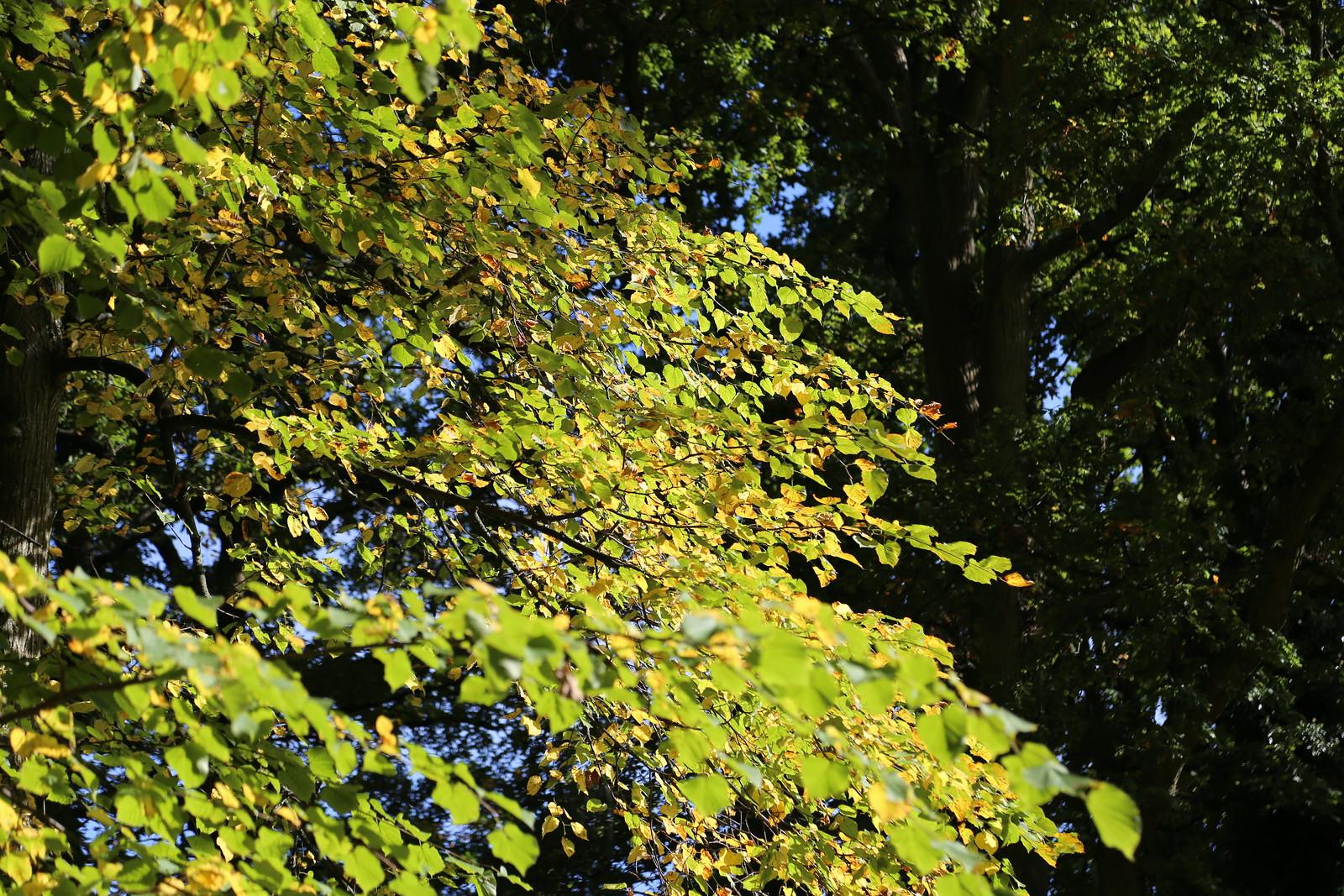 Lime leaves turning in Haywards Heath