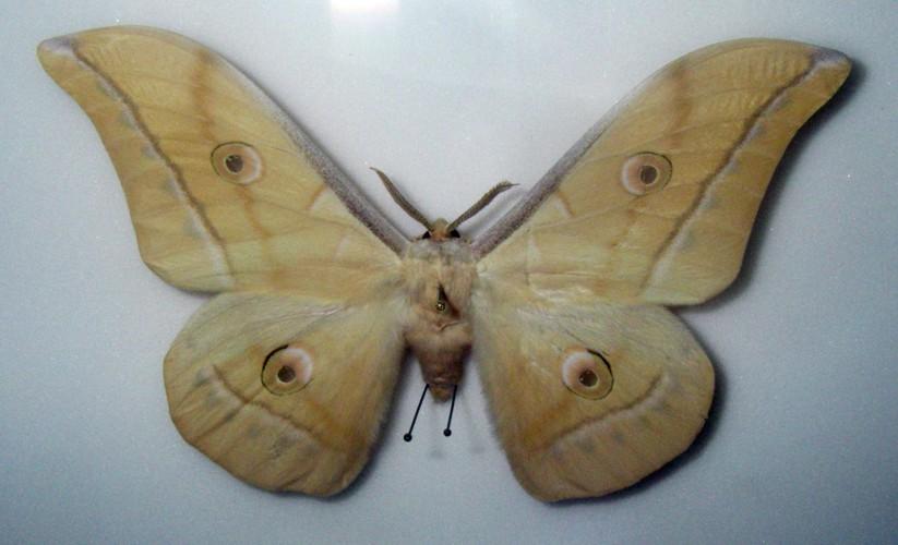 Antheraea pernyi 36767702474_bcd13df283_o
