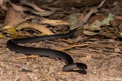 Small-eyed Snake (Cryptophis nigrescens)