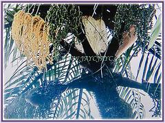 Multi-branched inflorescens of Oncosperma tigillarium (Nibung Palm, Nibong Palm, Nibung, Nibong), 7 Oct 2017