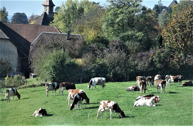 Cows 11.10 (3)