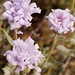 Mojave National Preserve, Clipper Valley, Mojave Aster